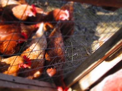 O those crazy chickens!
