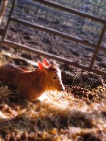 A new born calf