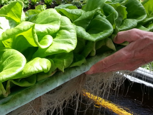 Hydroponic Lettuces!
